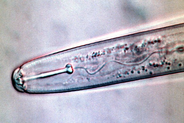 Light Micrograph of G. rostochiensis displaying typical, small, backward sloping stylet knobs.