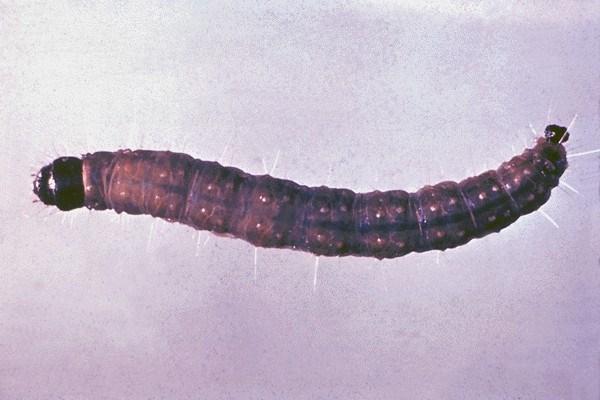 Larvae have a shiny black head and grow up to about 25 mm in length.