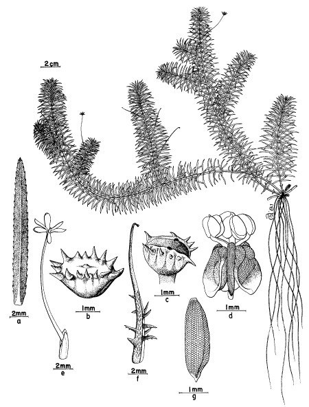 Hydrilla verticillata (hydrilla); a, Leaf; b, spathe filled with male flowers; c, empty spathe; d, free-floating male flower; e, female flower; f, fruit; g, seed.