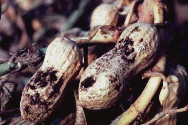 A. niger symptoms on nuts.