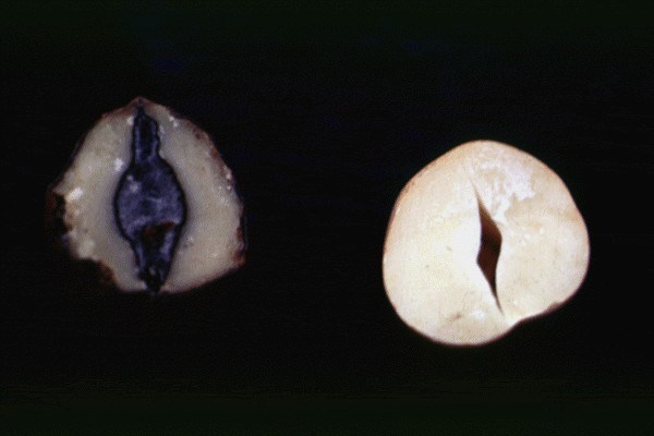 M. phaseolina concealed damage on nut.