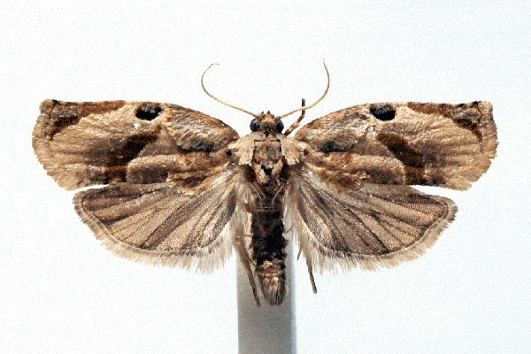 Wingspan, females 12-13 mm, males 8-10 mm, forewings with one or two pale bands running obliquely across them, in males the darker areas have a more intricate pattern.