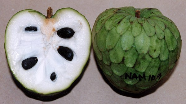 Annona cherimola (cherimoya); the fruit is easily broken or cut open, exposing the white, edible pulp, which is easily separated from the seeds. The juicy flesh has a pleasing aroma and a delicious, subacid flavour. The fruit contains numerous hard, brown or black, bean-like, glossy seeds, 1.25-2 cm long.