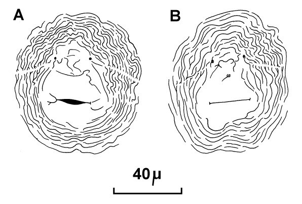 Meloidogyne incognita (root-knot nematode); posterior cuticular patterns of females.