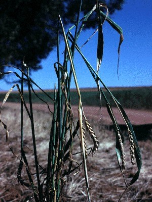 Mus musculus (house mouse); damage in wheat crop. Australia.