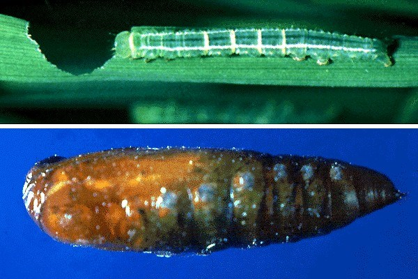 Larva (above), and pupa (below):  pupae smooth bodied and protected in silken cocoons secreted by the larvae within the folded leaf chamber, tied with silk.