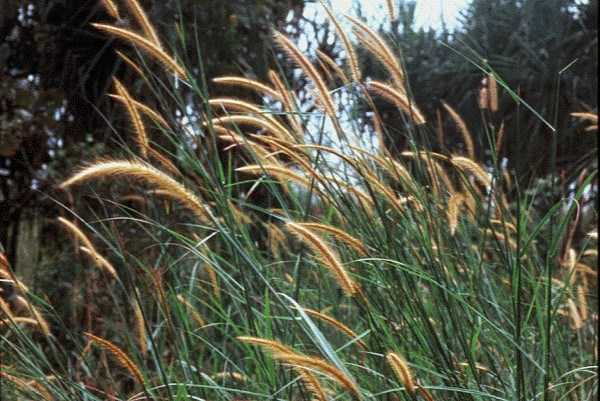 Erect, annual or perennial grass. Flowering culms slender to fairly stout, erect or ascending, 0.3-3 m or more tall, in dense stands, several emerging from a crown.