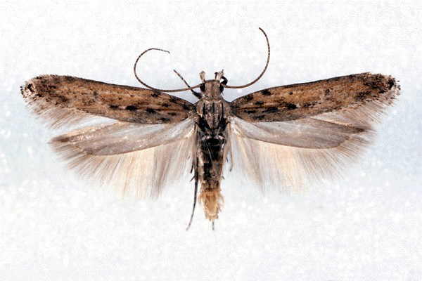 Phthorimaea operculella (potato tuber moth); adults are small elongate Gelechiid moths, measuring about 1cm in length when at rest, coloured pale brown with darker marbling. Wingspan 15-17 mm. Museum set specimen.