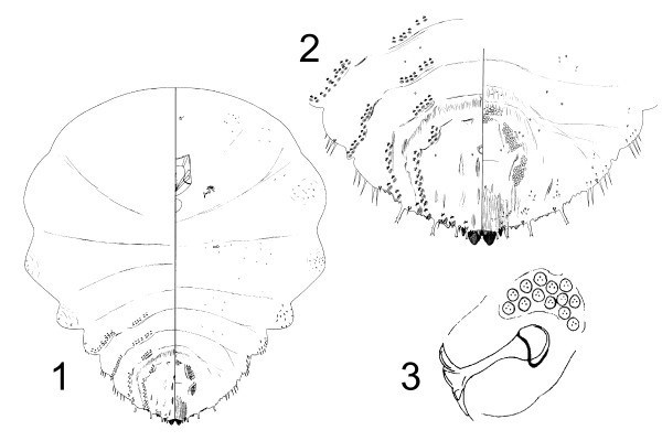 Pseudaulacaspis pentagona (mulberry scale); anatomic details of an adult female. 1. General aspect. 2. Pygidium. 3. Anterior spiracle. (Not to scale)