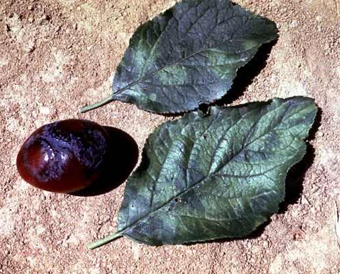 Typical symptoms of plum pox virus include lesions on fruit and discolouration of leaves.