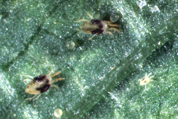 Tetranychus urticae (two-spotted spider mite); adult female with eggs and a larva.