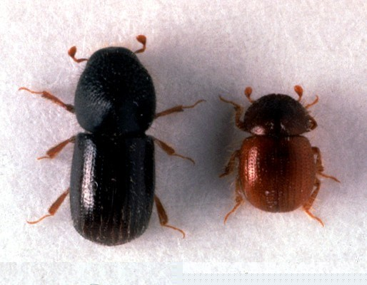 Xyleborus dispar (pear blight beetle); adults. Left: female, ca. 3.5mm long; right: male, ca. 2mm long.