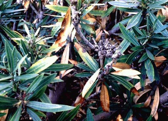Oleander leaf scorch (California USA) may not show distinct marginal necrosis in cool climates.