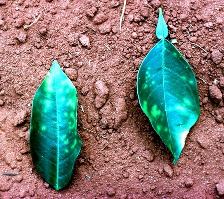 Chlorotic lesions on leaves characteristic of variegated chlorosis in sweet orange (Brazil).