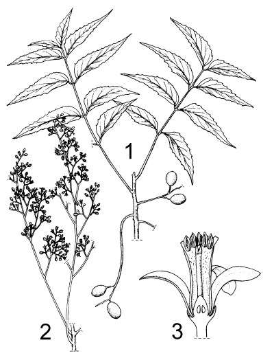 1. fruiting branch