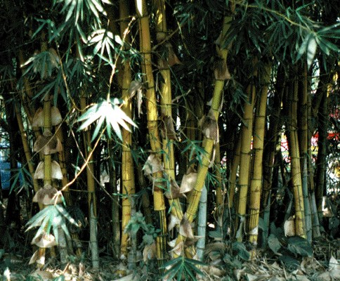Bambusa vulgaris (common bamboo); clump with yellow culms