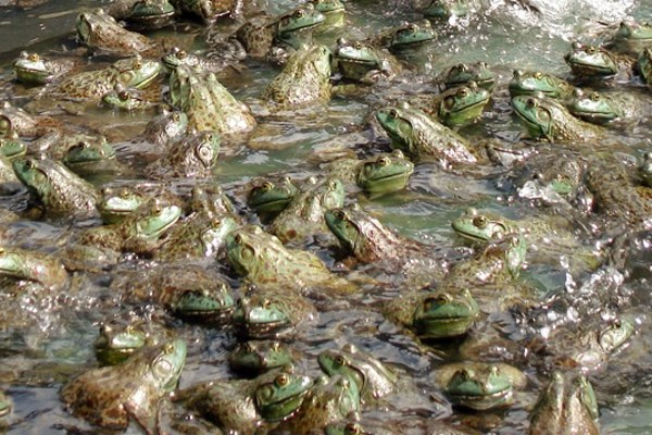 Chytridiomycosis; close view of north American bullfrogs in Taiwan, farmed for the international food trade.