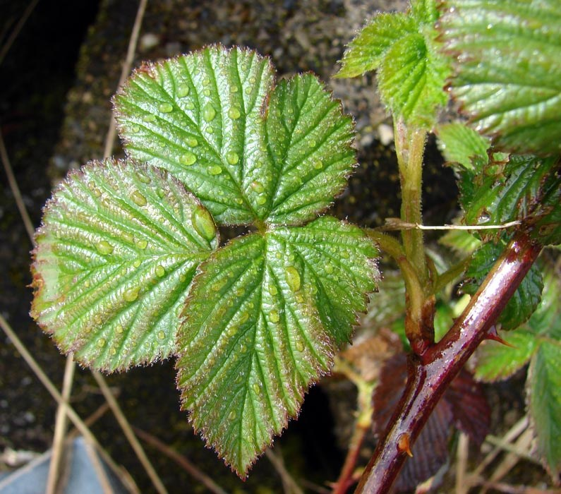 Rubus argutus (blackberry); leaves and spiny stem. East Maui, Maui. April, 2009.