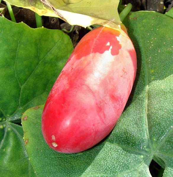 Coccinia grandis (scarlet-fruited ivy gourd, tam lung); ripe fruit. Sand Island, Midway Atoll. May, 2008.