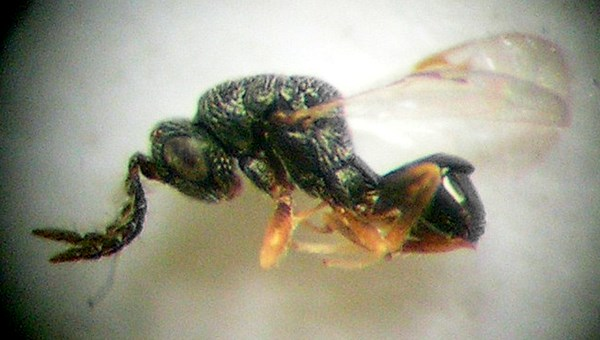 Adult male B. roddi; ca 1.2-1.7 mm in length. The wings are with typical reduced veins. The body is black and only some parts of the legs are yellow-brown.