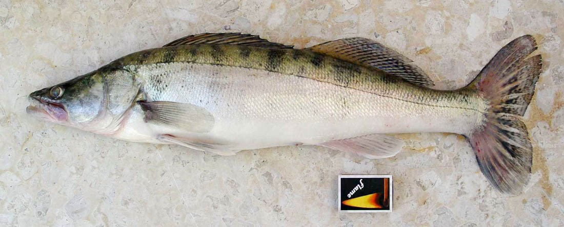 Zander (Sander lucioperca), caught in Cyprus on March 17, 2007. Note matchbox, ca.50mm length, for scale: