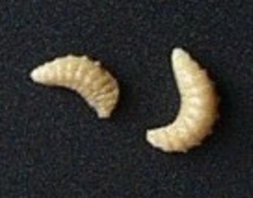 Larvae of B. roddi; the fully grown larvae are whitish, 'C'-shaped and without legs, ca 1.5-2 mm long.