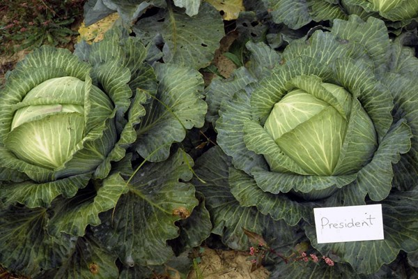 A cabbage plant is a large bud that forms into a head consisting of overlapping leaves surrounded by a rosette of outer leaves positioned closer to the ground.