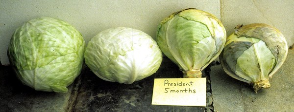 Hinova is a storage cultivar. These heads were stored for 5 months at 2°C and 90% RH. The outer leaves of the two heads on the right have dried out and become discoloured during storage. Removing the outer leaves has restored a marketable appearance to the two heads on the left. Cabbage is stored primarily for processing or is retailed when fresh market cabbage is unavailable.