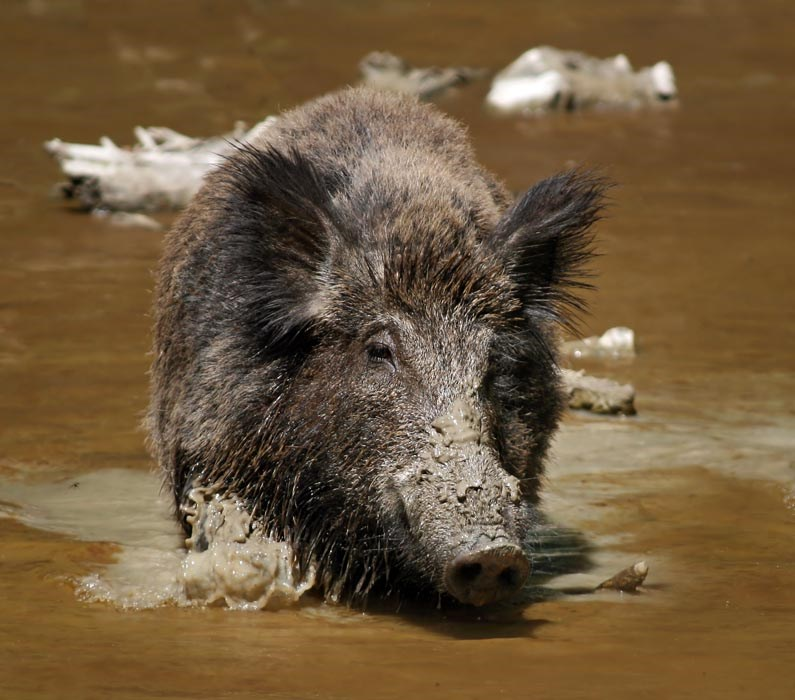 The Wild Boar (Sus scrofa) is the wild ancestor of the domestic pig. Shown in natural habitat, mud wallowing.