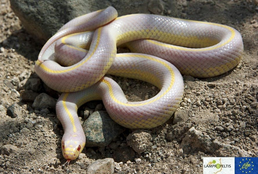 California Kingsnake (Lampropeltis californiae); pale morph, found on Grand Canaria, Canary Islands, Spain.