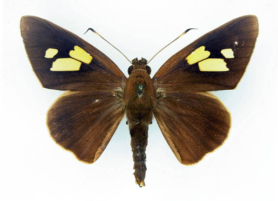Erionota thrax (palm redeye, banana skipper, banana leafroller); adult male, upperside.