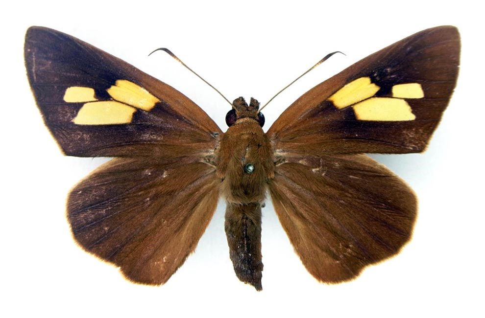 Erionota thrax (palm redeye, banana skipper, banana leafroller); adult female, upperside.