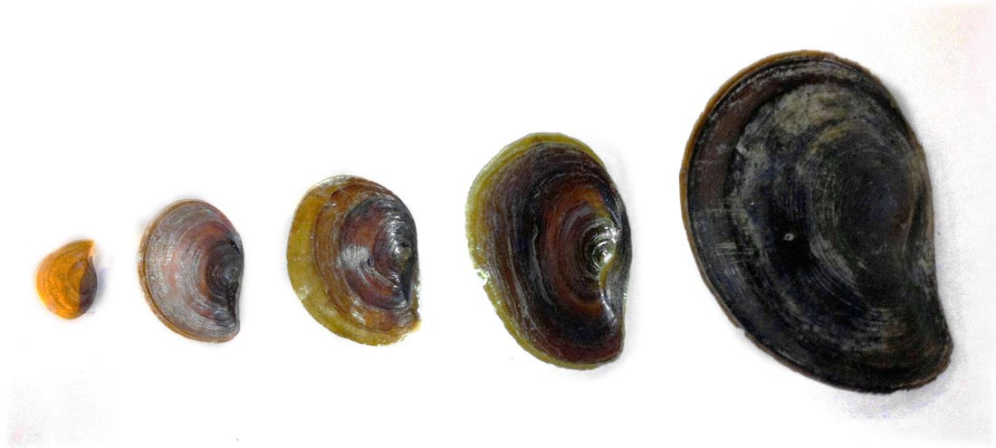 Pomacea maculata (island apple snail); the increasing thickness of opercula as the snail increases in age and size.