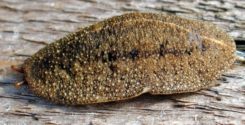 Cuban slug (Veronicella cubensis); contracted specimen, showing mantle covering full length of its body.