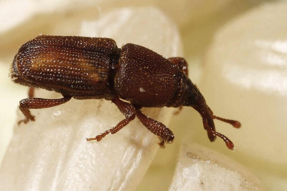 Sitophilus oryzae (lesser grain weevil)