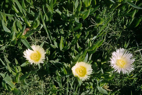 Mat of Carpobrotus edulis planted on roadside, with flowers, one maturing pink, South Africa.