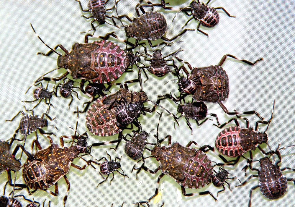 Various nymphal instars of the brown marmorated stink bug (Halyomorpha halys).
