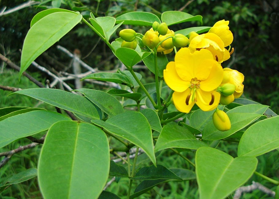 Senna septemtrionalis (smooth senna, kolomona, kalamona); flowers and foliage. Makawao Forest Reserve, Maui. November, 2004