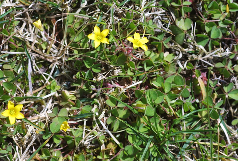 Oxalis corniculata (creeping woodsorrel); habit in a lawn.