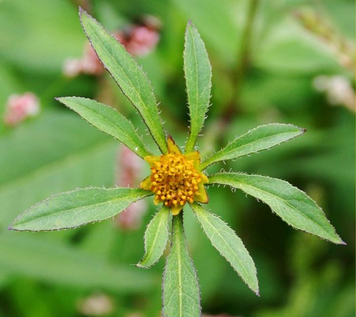 Bidens frondosa (beggar-ticks); flower head.