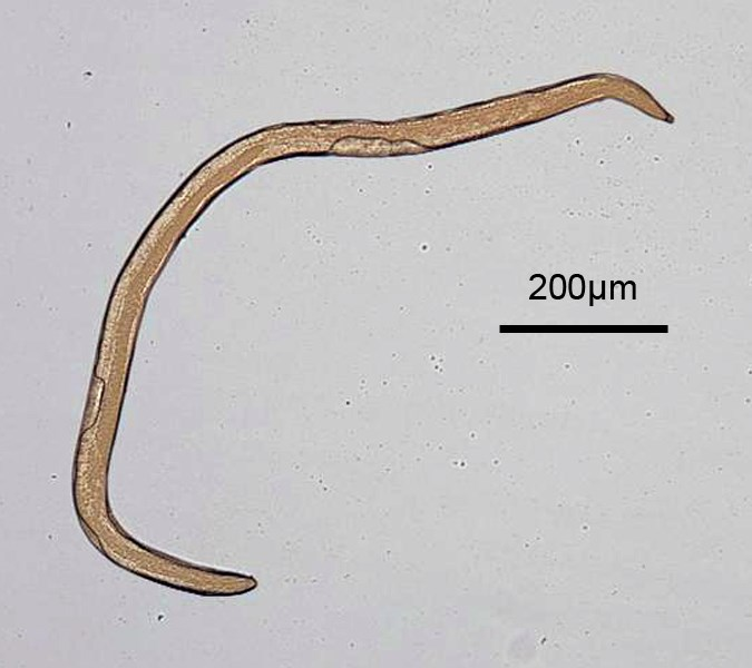 Meloidogyne incognita (root-knot nematode); male, full body image.