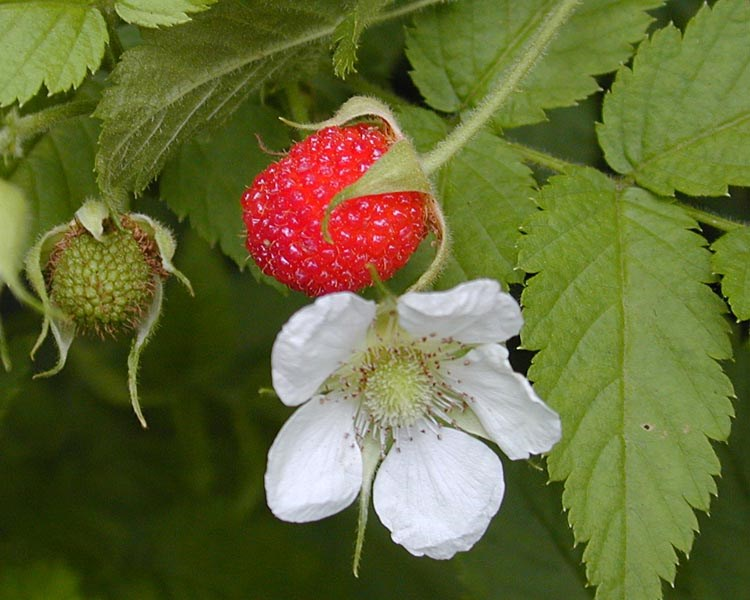 Rubus rosifolius (roseleaf raspberry, thimbleberry, olaa); flower and fruit. Hana Hwy, Maui, Hawaii, USA. August, 2002