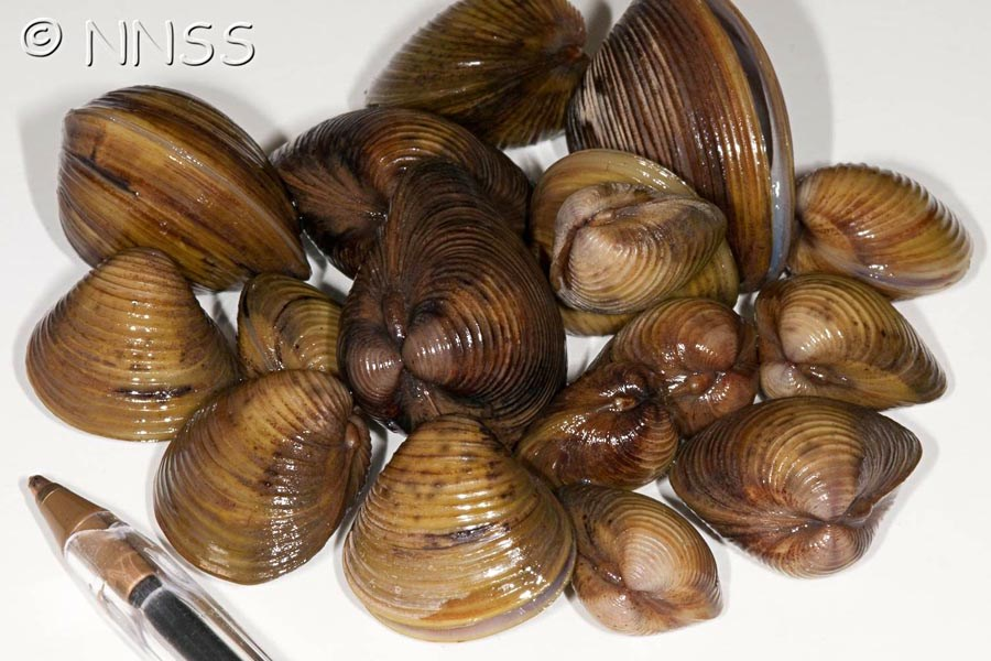 Corbicula fluminea (Asian clam); clam shells at various stages of development. Note Biro for scale.