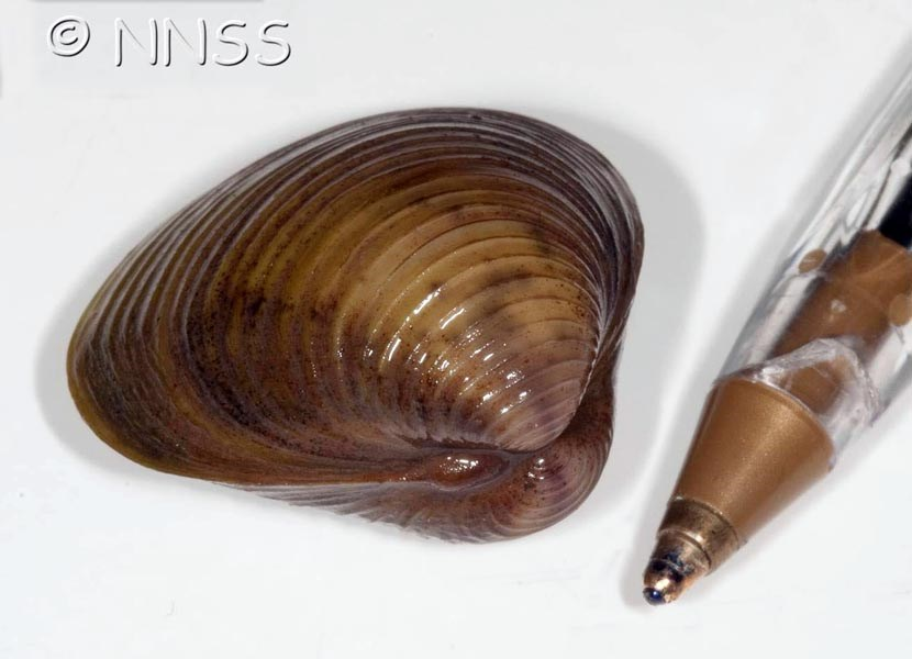 Corbicula fluminea (Asian clam); single shell. Note scale against pen tip.