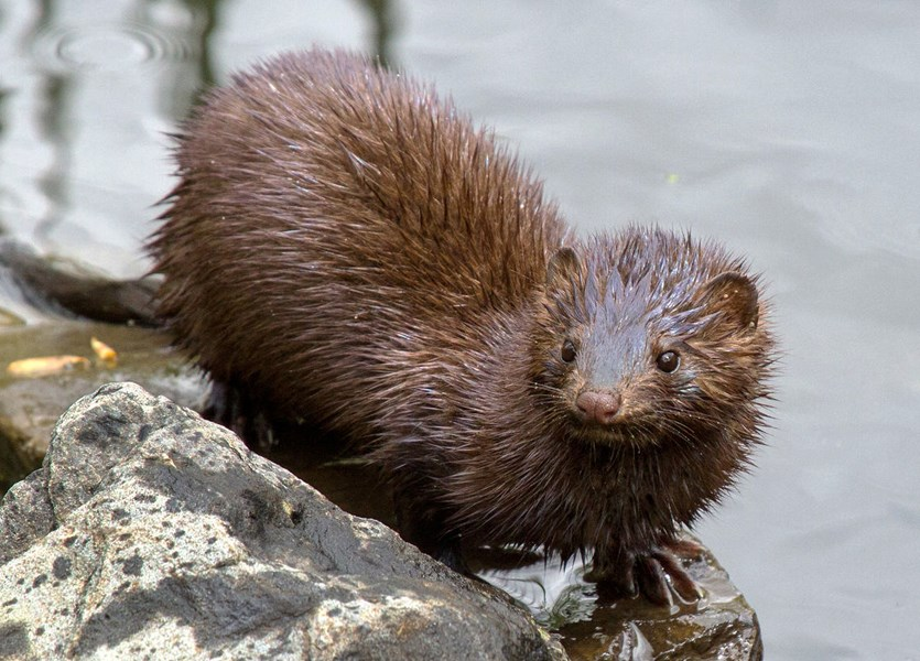 Neovison vison (American mink); adult in typical habitat. Capisic Pond, Portland, Maine, USA.