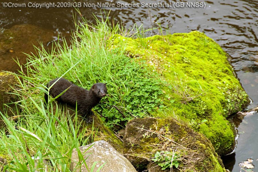 Neovison vison (American mink); adult, in typical riparian habitat. UK.