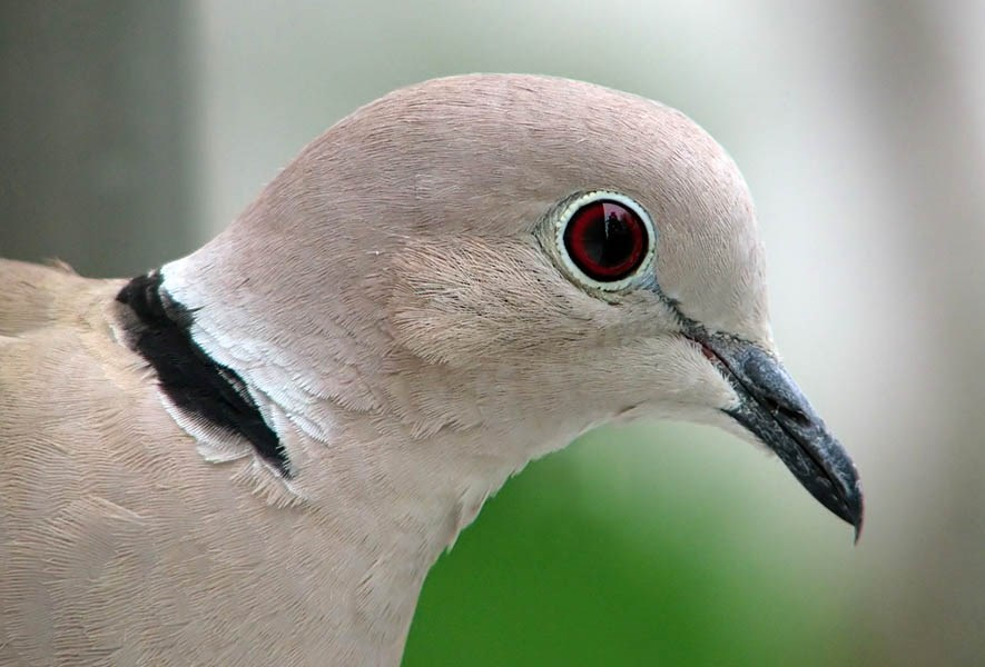 Streptopelia decaocto (Eurasian collared-dove); adult, detail of head.