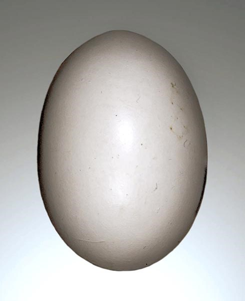 Streptopelia decaocto (Eurasian collared-dove); typical egg. approx dimensions  31 x 24 mm.  Clutch usually 2 eggs. Incubation period 16-17 days. Young fledging at 17-19 days. Collection Jacques Perrin de Brichambaut. Locality: Lumigny-Nesles-Ormeaux, Seine-et-Marne, France.