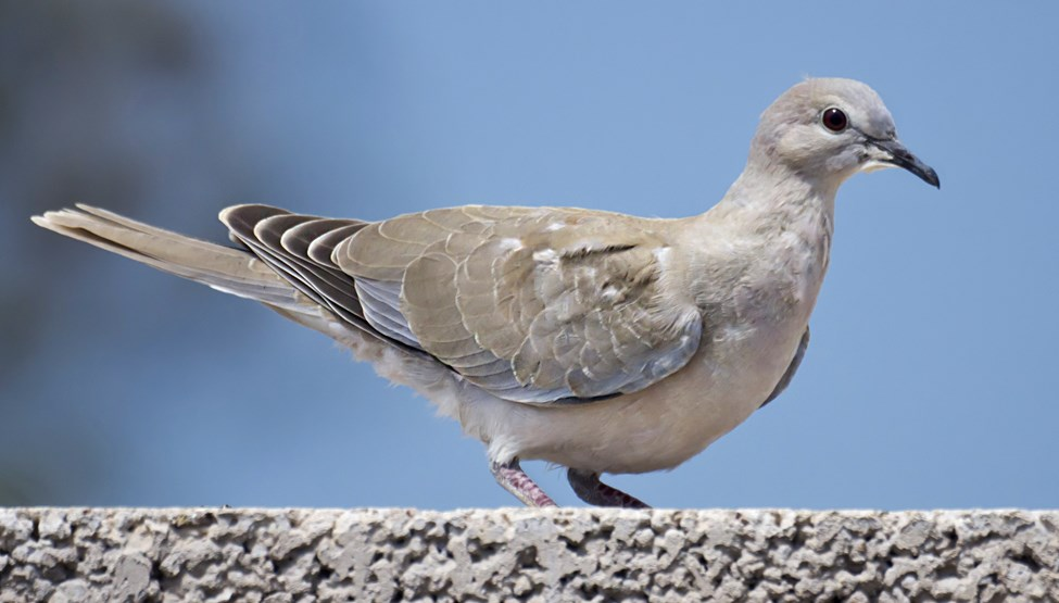 Streptopelia decaocto (Eurasian collared-dove) juvenile, note lack of neck ring. Gran Canaria, Canary Islands, Spain.