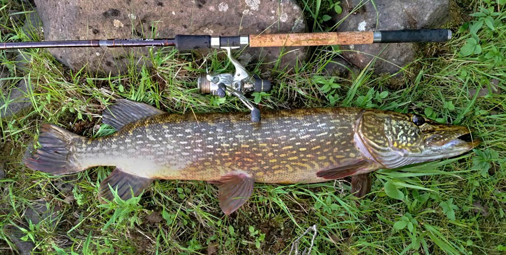 Esox lucius (pike, northern pike); adult fish, rod caught. Length 115cm, weight 12 kg. Caught in the Kalix River, Sweden. July, 2014.